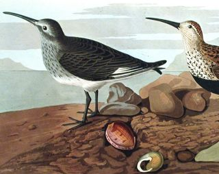 """Red-backed Sandpiper. From """"The Birds of America"""" (Amsterdam Edition)"""
