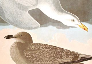 "Herring Gull. From ""The Birds of America"" (Amsterdam Edition)"