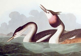 "Crested Grebe. From ""The Birds of America"" (Amsterdam Edition)"