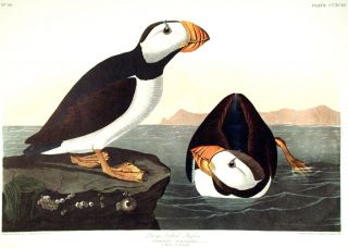 "Large billed Puffin. From ""The Birds of America"" (Amsterdam Edition). John James AUDUBON."