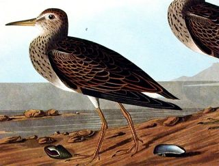 "Pectoral Sandpiper. From ""The Birds of America"" (Amsterdam Edition)"