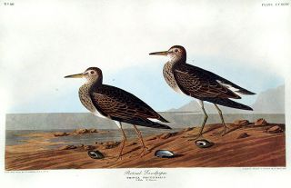"Pectoral Sandpiper. From ""The Birds of America"" (Amsterdam Edition). John James AUDUBON"