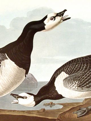 "Barnacle Goose. From ""The Birds of America"" (Amsterdam Edition)"