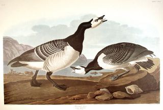 "Barnacle Goose. From ""The Birds of America"" (Amsterdam Edition). John James AUDUBON"