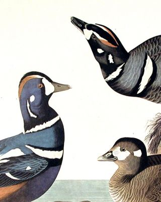 """Harlequin Duck. From """"The Birds of America"""" (Amsterdam Edition)"""