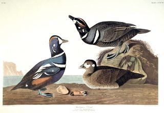 "Harlequin Duck. From ""The Birds of America"" (Amsterdam Edition). John James AUDUBON"