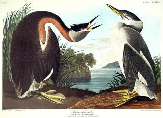 "Red-necked Grebe. From ""The Birds of America"" (Amsterdam Edition). John James AUDUBON."