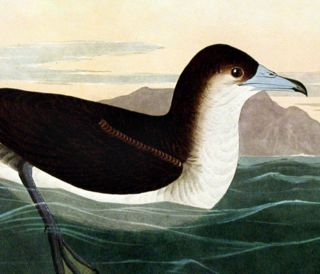 """Dusky Petrel. From """"The Birds of America"""" (Amsterdam Edition)"""
