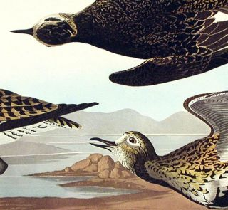 """Golden Plover. From """"The Birds of America"""" (Amsterdam Edition)"""