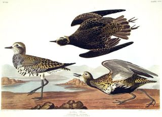 "Golden Plover. From ""The Birds of America"" (Amsterdam Edition). John James AUDUBON"