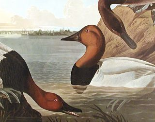 "Canvas backed Duck. From ""The Birds of America"" (Amsterdam Edition)"