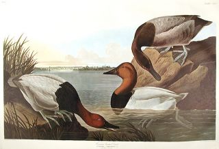 "Canvas backed Duck. From ""The Birds of America"" (Amsterdam Edition). John James AUDUBON."
