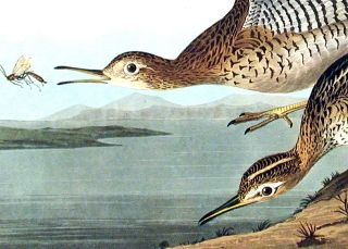 "Bartram Sandpiper. From ""The Birds of America"" (Amsterdam Edition)"