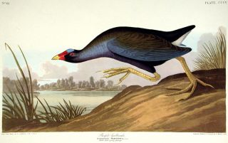 "Purple Gallinule. From ""The Birds of America"" (Amsterdam Edition). John James AUDUBON"