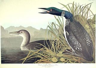 "Great Northern Diver or Loon. From ""The Birds of America"" (Amsterdam Edition). John James AUDUBON"