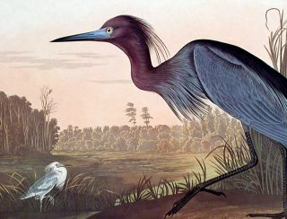 "Blue Crane or Heron. From ""The Birds of America"" (Amsterdam Edition)"