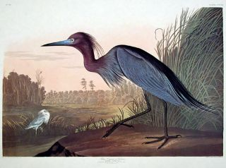 "Blue Crane or Heron. From ""The Birds of America"" (Amsterdam Edition). John James AUDUBON."