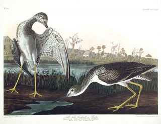 "Tell-tale Godwit or Snipe. From ""The Birds of America"" (Amsterdam Edition). John James AUDUBON."