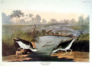 "Spotted Sandpiper. From ""The Birds of America"" (Amsterdam Edition). John James AUDUBON."