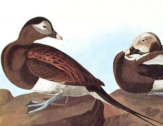"Long-tailed Duck. From ""The Birds of America"" (Amsterdam Edition)"