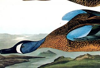 """Blue-Winged Teal. From """"The Birds of America"""" (Amsterdam Edition)"""