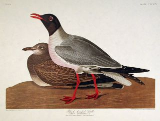 "Black-headed Gull. From ""The Birds of America"" (Amsterdam Edition). John James AUDUBON"