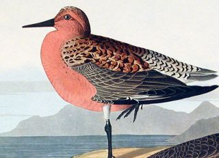 """Red-breasted Sandpiper. From """"The Birds of America"""" (Amsterdam Edition)"""