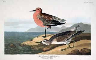"Red-breasted Sandpiper. From ""The Birds of America"" (Amsterdam Edition). John James AUDUBON"