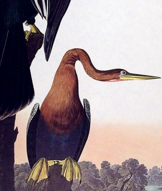"Black-bellied Darter. From ""The Birds of America"" (Amsterdam Edition)"