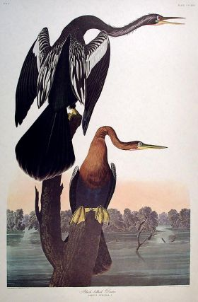 "Black-bellied Darter. From ""The Birds of America"" (Amsterdam Edition). John James AUDUBON."
