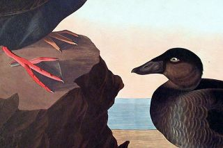 """Black or Surf Duck. From """"The Birds of America"""" (Amsterdam Edition)"""