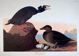 "Black or Surf Duck. From ""The Birds of America"" (Amsterdam Edition). John James AUDUBON."