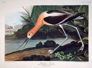 "American Avocet. From ""The Birds of America"" (Amsterdam Edition). John James AUDUBON"