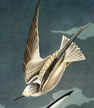 """Lesser Tern. From """"The Birds of America"""" (Amsterdam Edition)"""