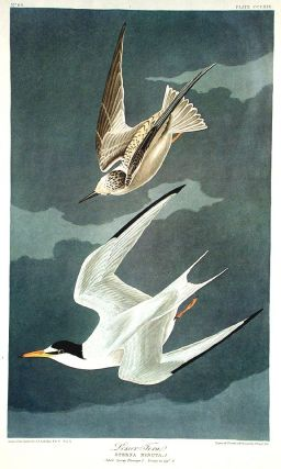 "Lesser Tern. From ""The Birds of America"" (Amsterdam Edition). John James AUDUBON"