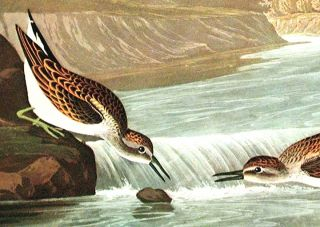 "Little Sandpiper. From ""The Birds of America"" (Amsterdam Edition)"