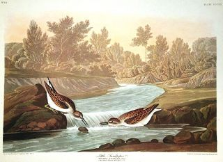 "Little Sandpiper. From ""The Birds of America"" (Amsterdam Edition). John James AUDUBON"