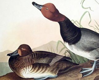 "Red-headed Duck. From ""The Birds of America"" (Amsterdam Edition)"