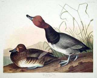 "Red-headed Duck. From ""The Birds of America"" (Amsterdam Edition). John James AUDUBON"