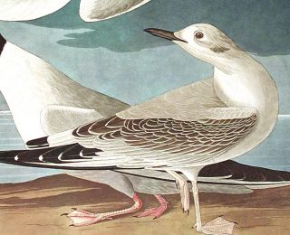 "Bonapartian Gull. From ""The Birds of America"" (Amsterdam Edition)"