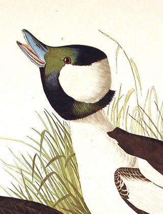 "Buffel-headed Duck. From ""The Birds of America"" (Amsterdam Edition)"