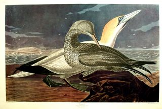 "Gannet. From ""The Birds of America"" (Amsterdam Edition). John James AUDUBON"