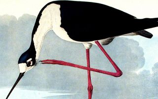"Long-legged Avocet. From ""The Birds of America"" (Amsterdam Edition)"
