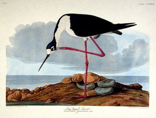 "Long-legged Avocet. From ""The Birds of America"" (Amsterdam Edition). John James AUDUBON"