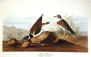 "Ring Plover. From ""The Birds of America"" (Amsterdam Edition). John James AUDUBON"