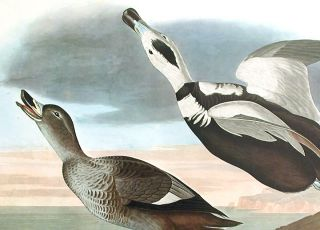 """Pied Duck. From """"The Birds of America"""" (Amsterdam Edition)"""
