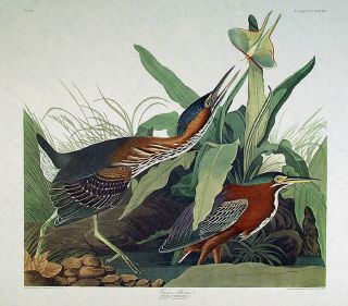 "Green Heron. From ""The Birds of America"" (Amsterdam Edition). John James AUDUBON"