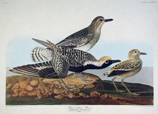 "Black-bellied Plover. From ""The Birds of America"" (Amsterdam Edition). John James AUDUBON."