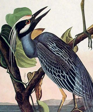 "Yellow-Crowned Heron. From ""The Birds of America"" (Amsterdam Edition)"