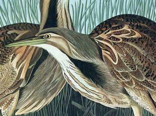 "American Bittern. From ""The Birds of America"" (Amsterdam Edition)"